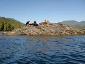 Sea Lions basking on sunny rock