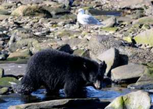 Bear at Neet's Bay Fish Hatchery