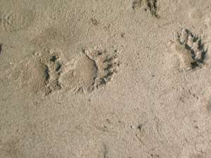 Bear tracks in river sand, Stikine River Alaska
