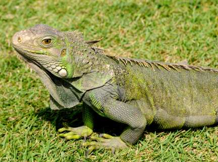 MY story about a working iguana to... - Stormaliza ...
