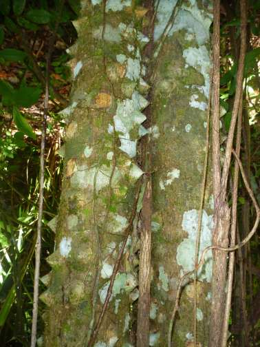 trees in Belize