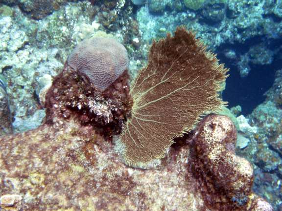 young coral near Georgetown, Grand Cayman