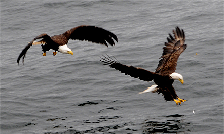 eagles fishing