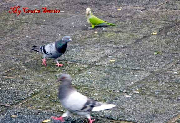 parrot begging with pigeons