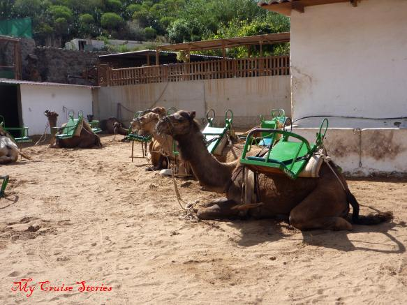 camel farm on Grand Canary Island