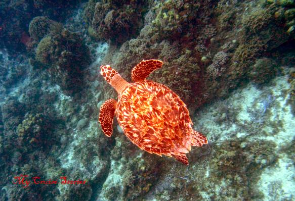 turtle on Palancar reef