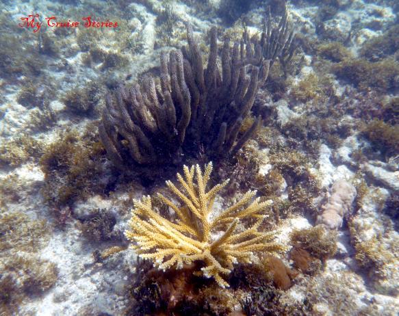 Antigua coral