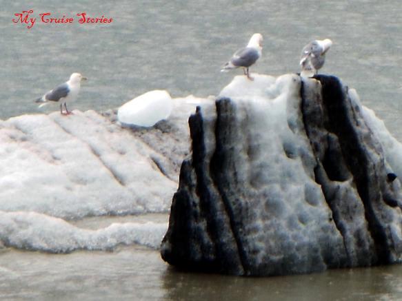 sea birds in Glacier Bay