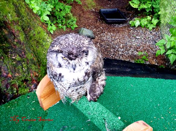eagle owl at the Sitka Raptor Center