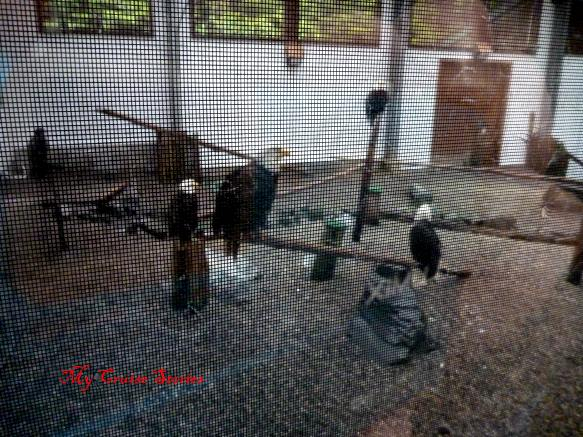 eagles in the flight center at the Sitka rapter center