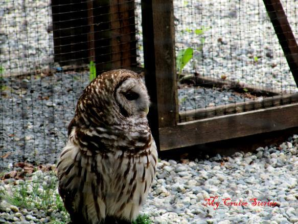 some birds like this owl will never fly again, but other birds at the raptor center recover and are released into the wild