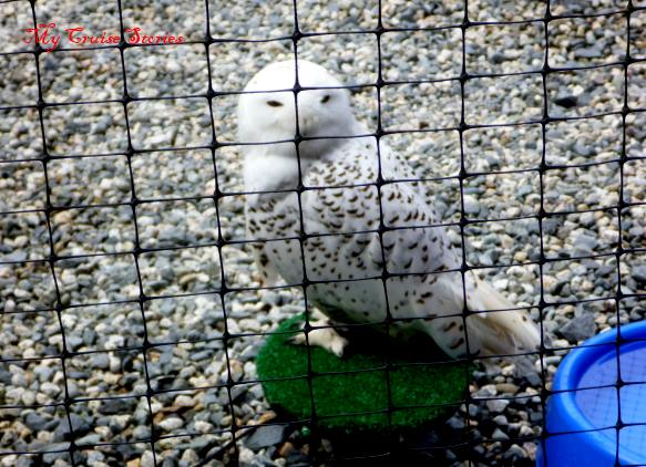 this injured snowy owl will never fly so can't be released into the wild