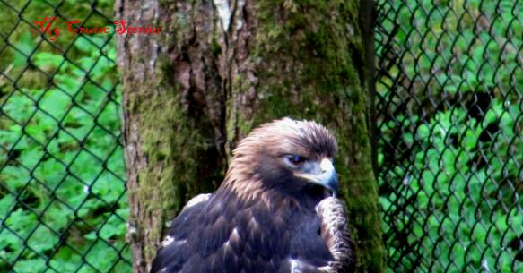 Alaska Raptor Center in Sitka rescues injured birds of prey