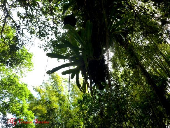 wild air plants in Jamaica