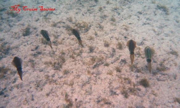 cuttlefish in Aruba
