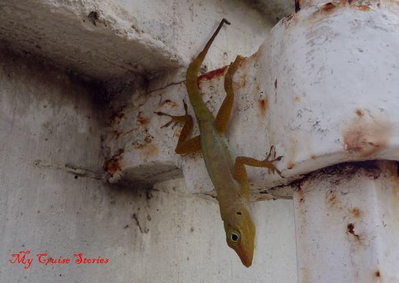 lizard in St Croix