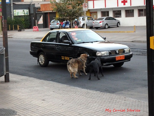 lots of street dogs in Santiago