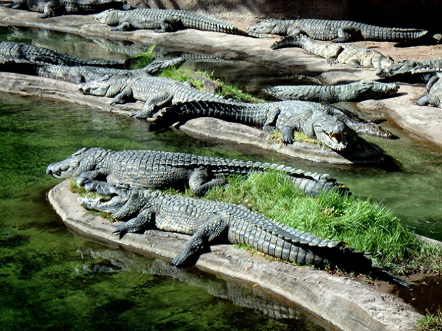 alligators at Disney World