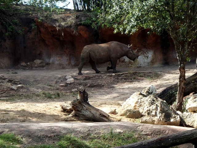 rhino at Disney World