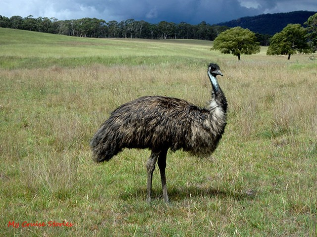 emu in the wild