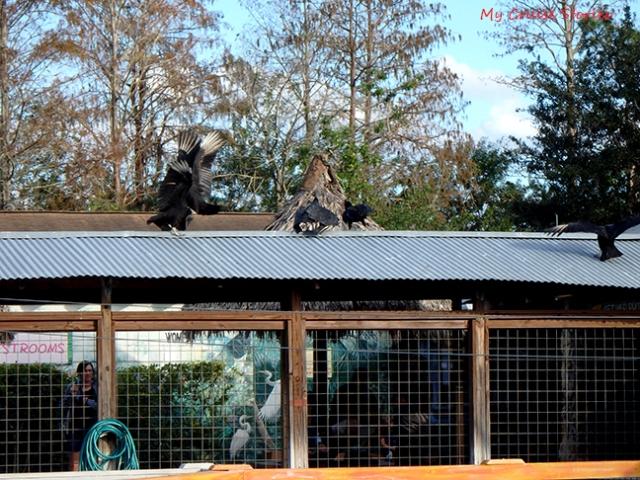 buzzards fighting