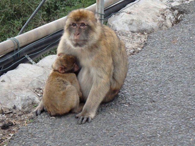 Barbary apes of Gibraltar
