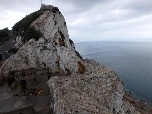 Barbary Apes on the Rock of Gibraltar