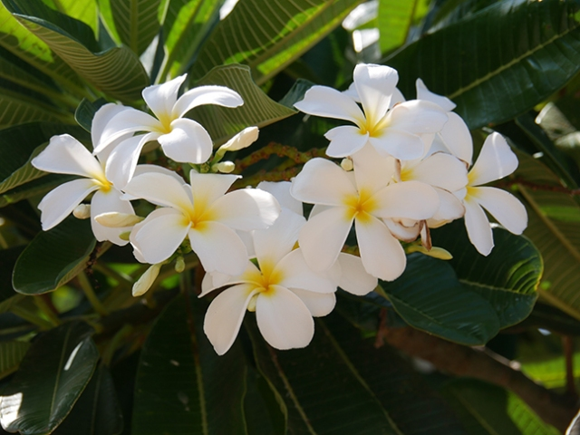 flowers in Hawaii