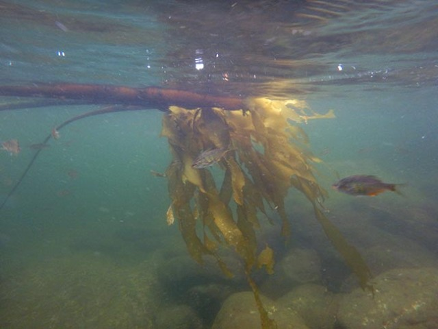 kelp and fish