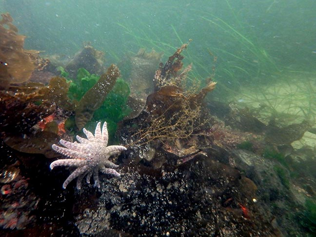 white sea star