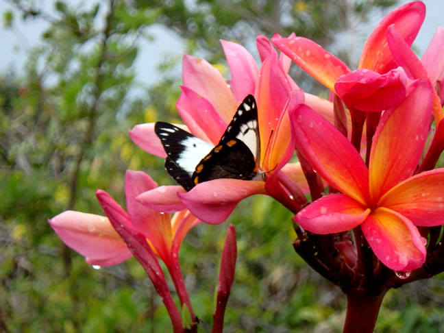 butterfly on Lifou