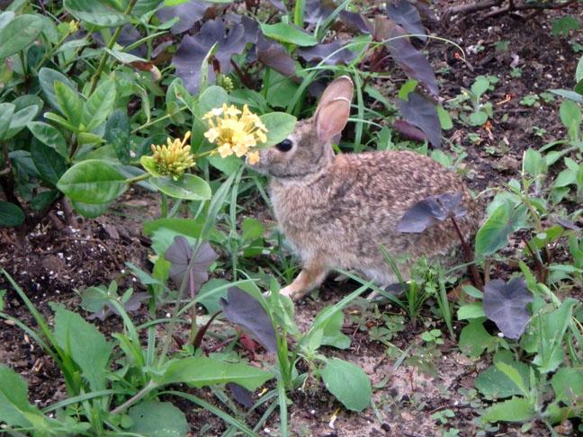 rabbit at Texas park
