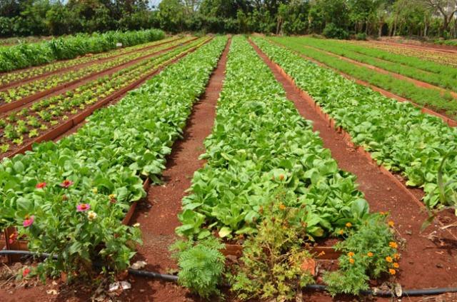 cuban organic garden