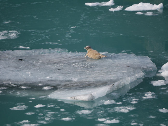 seal in Glacier Bay