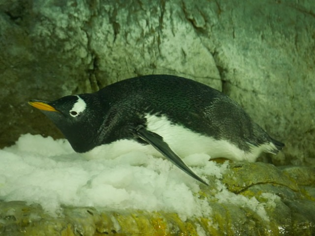 penguin at Osaka Aquarium