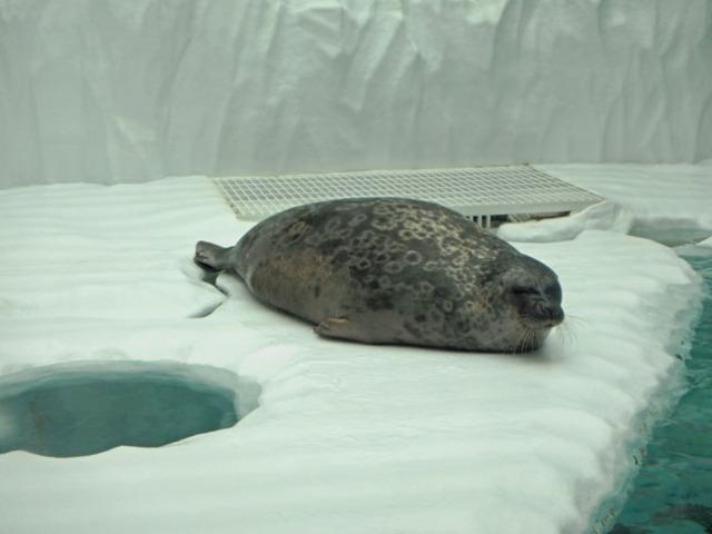 arctic seal at Osaka Aquarium