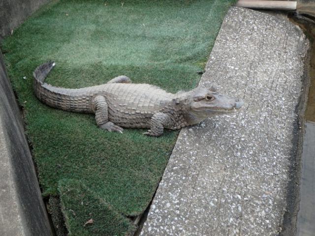 crocodile on 7 hells tour in Beppu, Japan