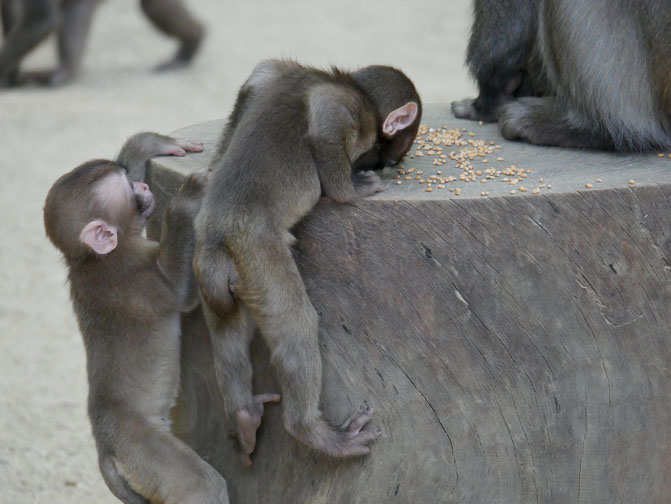 monkey feeding time