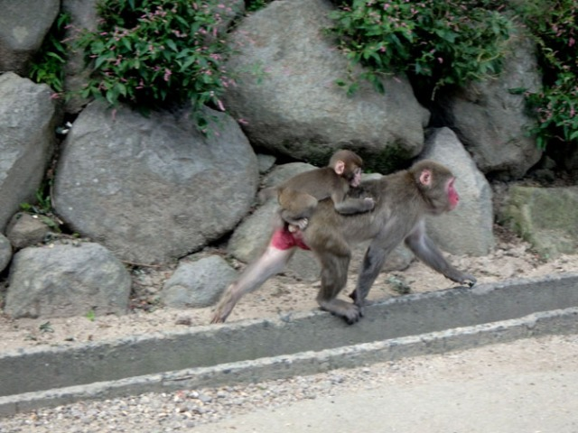mom and baby monkeys